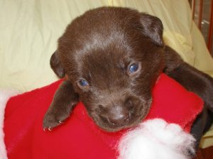 Chocolate Lab 3 weeks old Green Collar Boy