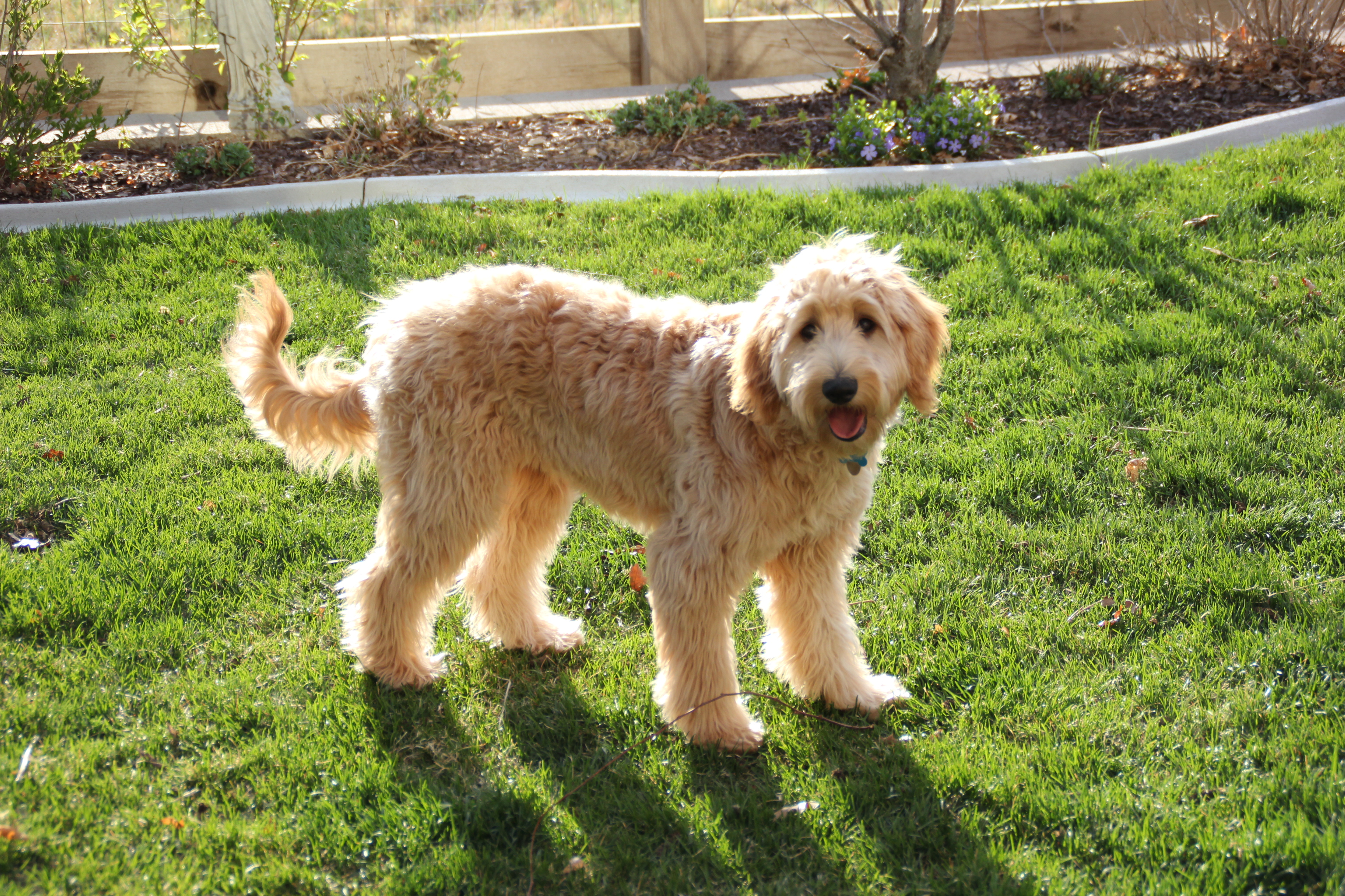 Abby 6 1/2 month old Goldendoodle   Terry Farm
